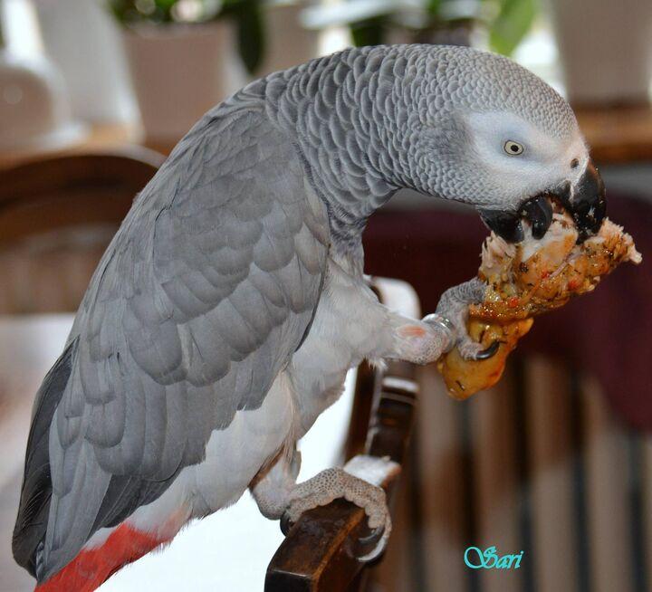afrikanska och amerikanska papegojor